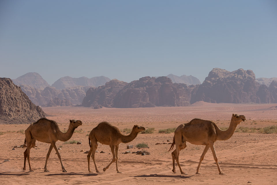 """""""Three Camels crossing Wadi Rum"""" by Neil Cordell"""