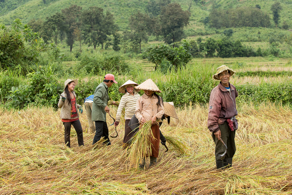"""""""Rice Harvest in Laos"""" by Neil Cordell"""